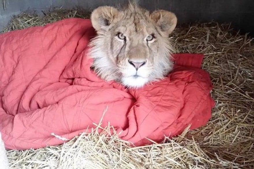 They nearly euthanized this rare lioness when something miraculous